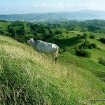 Cow at Vayang Rolling Hills