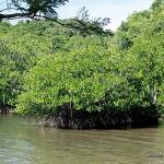 Mangroves around Calauit Safari Park