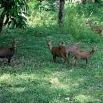 Calamian Deer - Calauit Safari Park