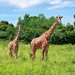 Giraffes - Calauit Safari Park