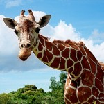 Hermie - The Friendly Giraffe at Calauit Safari Park