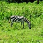 Zebra - Calauit Safari Park