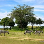 Zebras - Calauit Safari Park