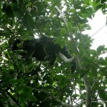 Palawan Bearcat sleeping on top of a tree - Calauit Safari Park