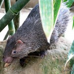 Porcupine - Calauit Safari Park