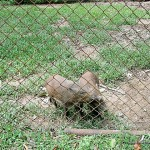 Wild Boars - Calauit Safari Park
