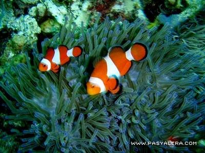 Clownfishes around the anemone