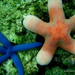 Starfishes at Marissa Reef 1