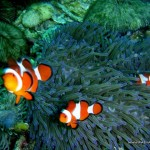 Clownfishes at Marissa Reef 1