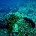 Corals at Marissa Reef 1