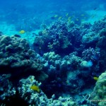 Corals at Marissa Reef 1