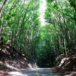Bilar Man-made Mahogany Forest (Bohol Forest)