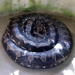 Prony - Python Snake
